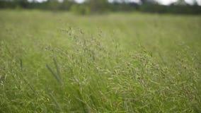 Härlig gräsinflyttning för Spikelets vinden stock video