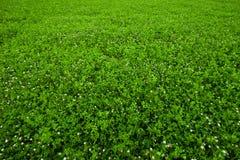 Texturera bevuxen växt av släkten Trifolium Royaltyfri Foto