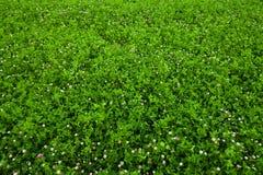 Texturera bevuxen växt av släkten Trifolium Arkivfoto