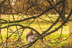 Härlig grå färgekorre på en trädfilial, Royaltyfria Bilder