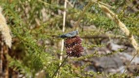 Härlig grå gräshoppa i Spanien Royaltyfria Foton