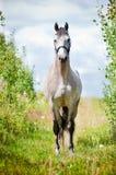 Härlig grå holländareWarmblood häst på ett fält Royaltyfri Fotografi