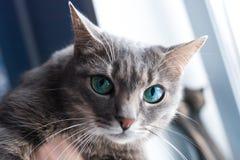 Härlig grå katt med gröna ögon, nära fönstret Royaltyfri Fotografi