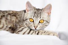 Härlig grå katt med stora ögon som ligger på golvet Arkivbild
