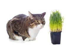 Härlig grå katt och grönt gräs Fotografering för Bildbyråer