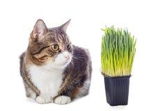 Härlig grå katt och grönt gräs Arkivbild