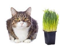 Härlig grå katt och grönt gräs Royaltyfri Fotografi