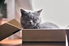 Härlig grå katt som sover i en ask brittisk kattungeshorthair Arkivfoton
