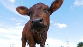 Härlig grå tjurkalv som betar på äng och luktar kameran på himmelbakgrund stock video
