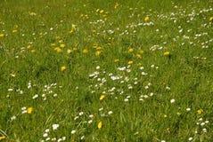 Härlig grön äng för lös blomma i vår arkivfoton