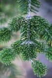 Härlig grön granfilial i höst Arkivbilder