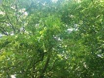 Härlig grön lind Våren är den så härliga säsongen arkivbild