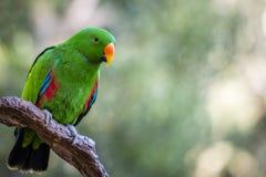 Härlig grön manlig Eclectus papegoja Royaltyfri Foto