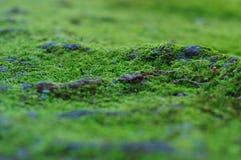 Härlig grön mossa Arkivfoto