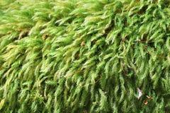 Härlig grön mossa Arkivbilder