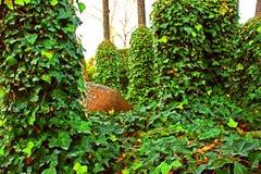 Härlig grön murgröna som är lövrik bland träd med gyttjakruset bland den 5 Royaltyfria Bilder