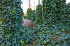 Härlig grön murgröna som är lövrik bland träd med gyttjakruset bland den Fotografering för Bildbyråer