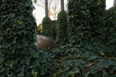 Härlig grön murgröna som är lövrik bland träd med gyttjakruset bland den Royaltyfri Foto