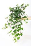 härlig grön murgrönakruka Arkivfoton