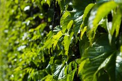 Härlig grön murgrönavägg Arkivfoto