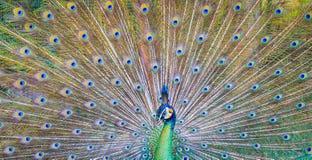 Härlig grön påfågel royaltyfria foton