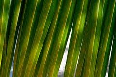 Härlig grön palmbladcloseup ljus bakgrund Kokosnötpalmblad på en varm sommardag mot den blåa himlen arkivbild