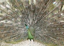 Härlig grön Peafowl med den färgrika svansen Royaltyfri Foto