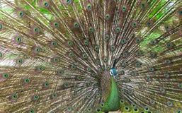 Härlig grön Peafowl med den färgrika svansen Royaltyfria Foton