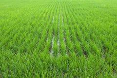Härlig grön risfält för perspektiv Arkivbilder