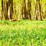 Härlig grön skog i vår Naturbakgrund med solen royaltyfria foton