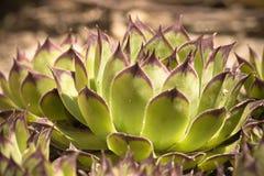 Härlig grön suckulent växt i solljus Fotografering för Bildbyråer