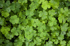 Härlig grön växt av släktet Trifoliumcloseup Royaltyfri Bild