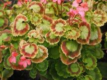 Härlig grön växt med stora sidor Royaltyfri Foto