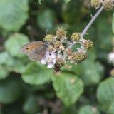 Härlig grindvaktarefjäril Pyronia Tithonus på blommaknoppar I Royaltyfria Bilder