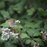 Härlig grindvaktarefjäril Pyronia Tithonus på blommaknoppar I Arkivbild