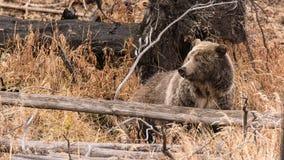 Härlig grisslybjörn Arkivbild