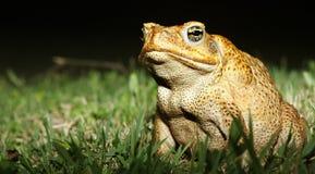 Härlig groda med fantastiska gula ögon Arkivfoto