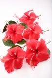 härlig grund dof-blommahibiskus Arkivfoto