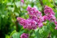 Härlig grupp av den purpurfärgade lilan i blomning i solig vårdag Royaltyfri Foto