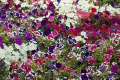 Härlig grupp av färgrika blommor i en trädgård fotografering för bildbyråer