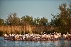 Härlig grupp av flamingo Fotografering för Bildbyråer