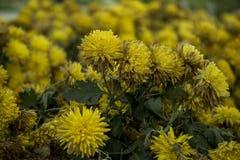 Härlig grupp av gula blommor arkivfoton
