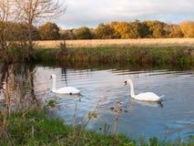 Härlig grupp av svanar och cyngets som simmar ner floden Dedham Arkivfoton
