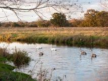 Härlig grupp av svanar och cyngets som simmar ner floden Dedham Royaltyfri Bild