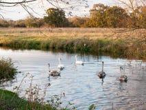 Härlig grupp av svanar och cyngets som simmar ner floden Dedham Royaltyfri Fotografi