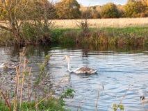 Härlig grupp av svanar och cyngets som simmar ner floden Dedham Royaltyfri Foto