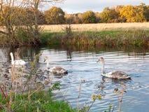 Härlig grupp av svanar och cyngets som simmar ner floden Dedham Arkivfoto