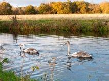 Härlig grupp av svanar och cyngets som simmar ner floden Dedham Royaltyfria Foton