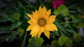 Härlig gul blomma efter regnet fotografering för bildbyråer