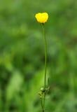 Härlig gul blomma för sommar i grönt gräs Arkivfoton